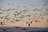 Geese in Flight at Dusk, Sacramento National Wildlife Refuge, California