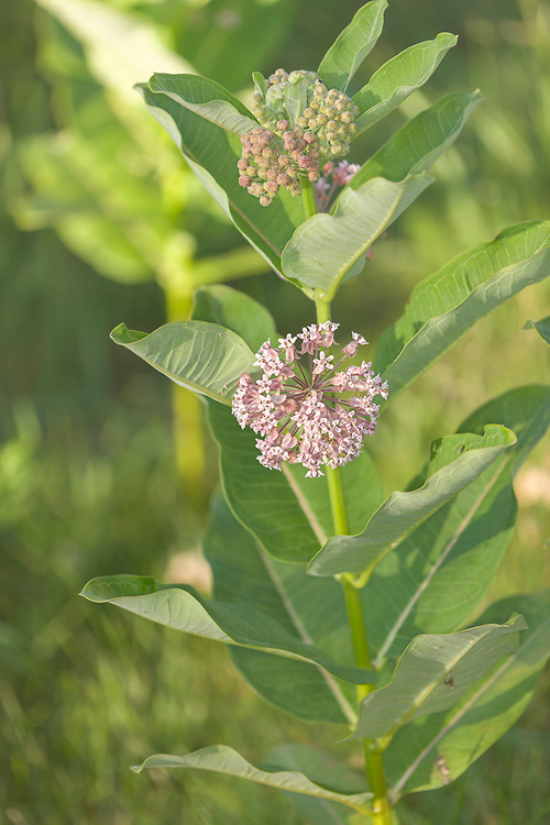 Milkweed in flower (Asclepias syriaca)