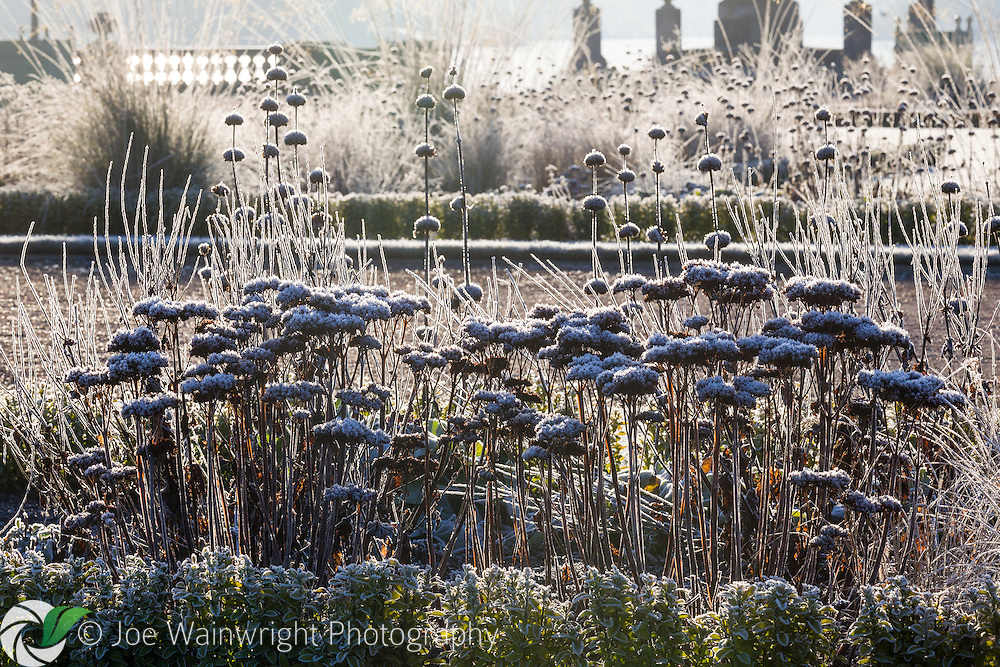 Photographed in January, the frosted seed heads of Phlomis, Sedums and Grasses in a herbaceous border in the Italian Garden at Trentham Gardens, Staffordshire