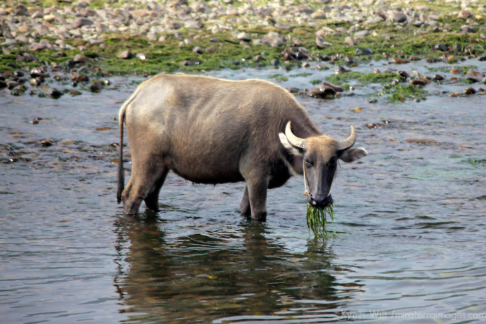 Asia, China, Guilin. Water buffalo grazing in Li River.