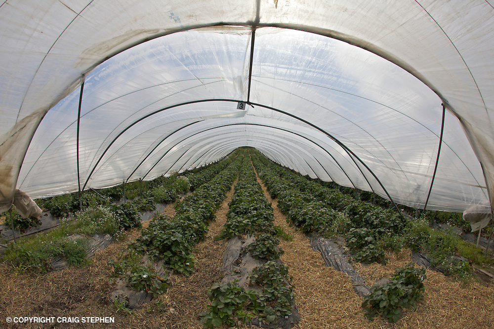 Strawberry polytunnels in Perthsire, Scotland