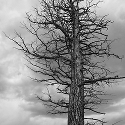 A bare winter tree against a cloudy dark sky - black & white