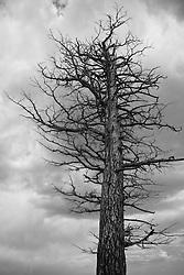 A bare winter tree against a cloudy dark sky - black & white