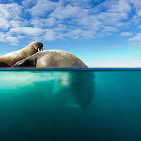 Norway, Svalbard, Spitsbergen Island, Underwater view of Walrus (Odobenus rosmarus) preparing to dive from ice floe