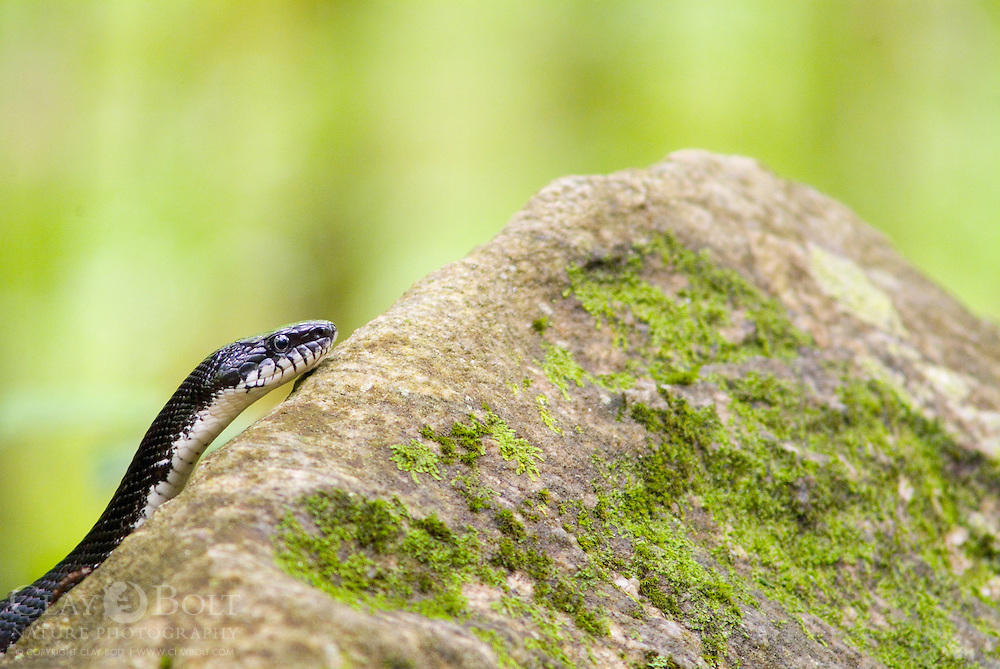 Black Rat Snakes are incredible climbers and are able to use accordion motion to climb up verticle surfaces such as walls, trees and nest boxes.