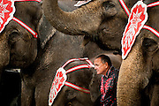 """Elephant trainer Tim Frisco takes refuge from the rain under his herd during a show at the Montgomery County Fairgrounds in Gaithersburg, Md. The Cole Bros. Circus of the Stars is celebrating its 127th season and bills itself as the """"World's Largest Circus Under The Big Top."""""""