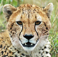 This lovely female cheetah has just brought down a Thompson's gazelle for her three cubs, now almost as large as she is.  She waits here, keeping guard, while her cubs lunch.<br /> LIMITED EDITION PRINT