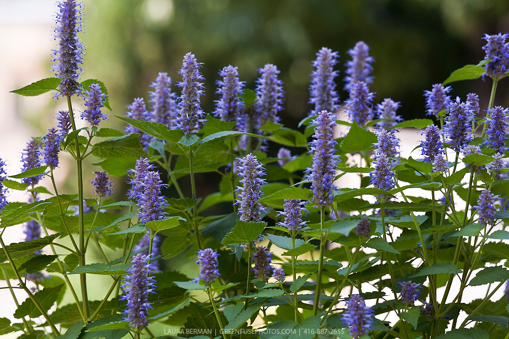 Hyssop Hyssopus officinalis  Mother Earth Living