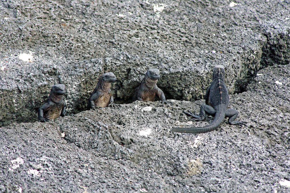 South America, Ecuador, Galapagos Islands. Juvenile Marine Iguanas on Fernandina Island.