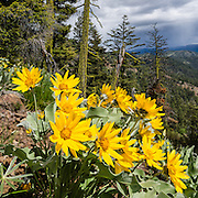 Arrowleaf Balsamroot blooms yellow on the Iron Creek to Teanaway Ridge Trail, in Wenatchee National Forest, near Blewett Pass, Washington, USA. Arrowleaf Balsamroot (Balsamorhiza sagittata, in the aster/daisy family, Asteraceae/Compositae) is native to much of western North America from British Columbia to California to the Dakotas, growing in many types of habitat from mountain forests to grassland to desert scrub. All of the plant can be eaten, albeit bitter and pine-like in taste. This image was stitched from 2 overlapping photos to increase depth of focus.