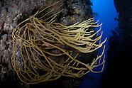 Callyspongia ramosa (Finger Sponge)
