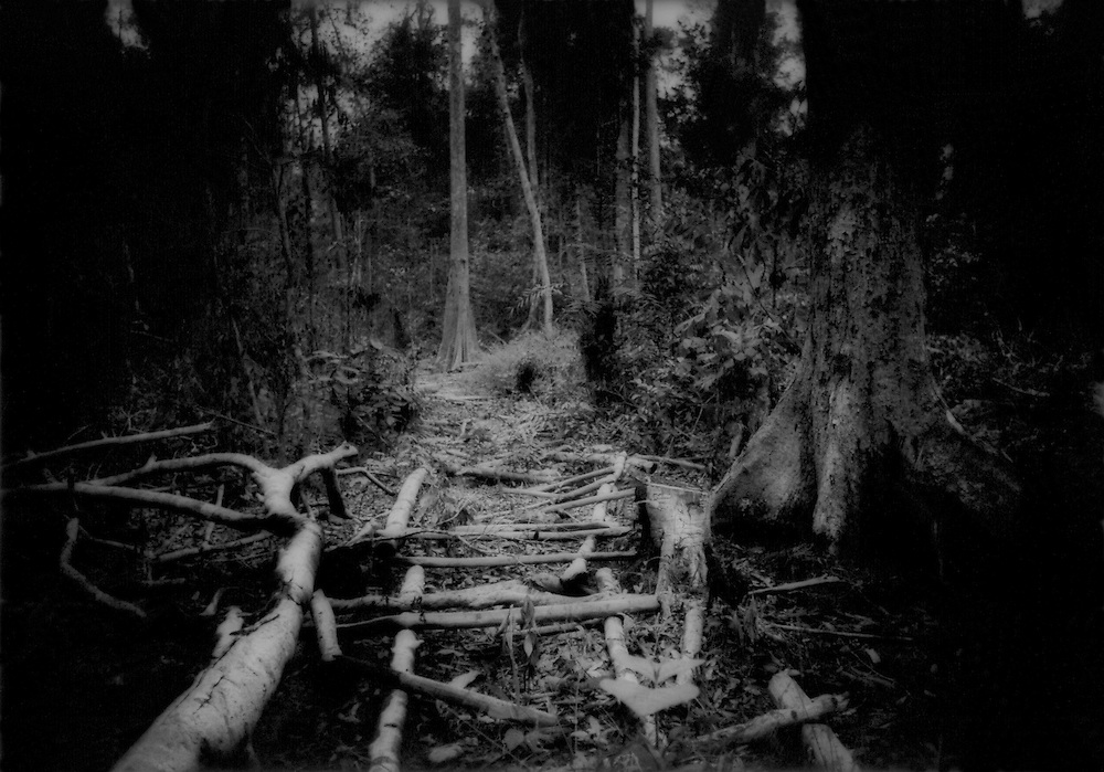 Twigs used as rollers by illegal loggers arrayed on rainforest floor INSIDE Gunung Palung Nat'l  Pk., West Kalimantan, Indonesian Borneo..