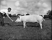 1960 - Boars at Whitehall for the Department of Agriculture