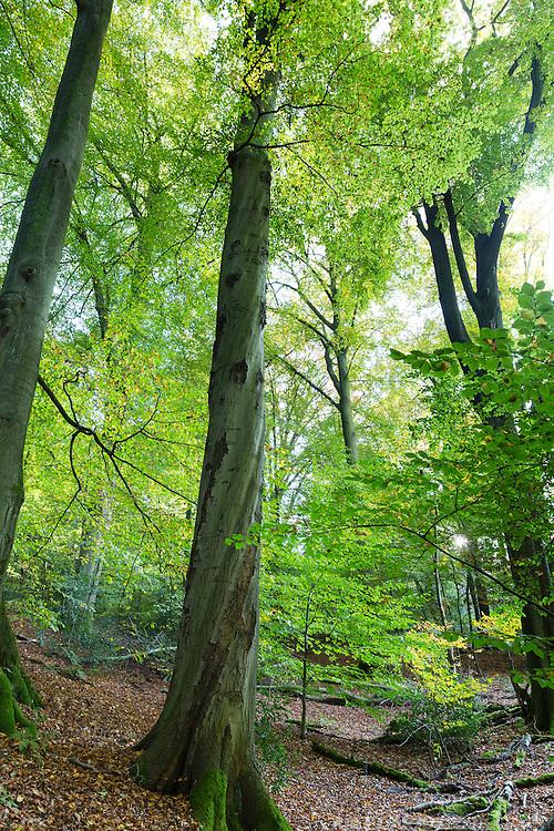 Beech forest in Aachen at the Belgian border, Buchenwald in Aachen an der belgischen Grenze