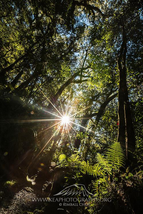 The sun breaks through the Fiordland forest, illuminating ferns on the forest floor.