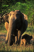 A baby elephant (Elephas maximus maximus) walks next to her mother.