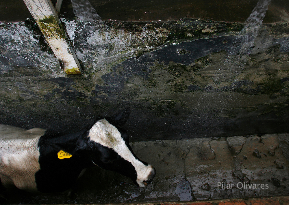 A dairy cow receives a bath before being slaughtered at a  slaughterhouse in Lima October 25, 2007. Peruvian ranchers killed about 80 of their dairy cows as a protest against milk companies that pay low prices for milk.