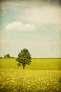 Field of canola with a tree standing in the middle