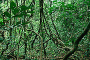 Tangle of lianas in Tropical Rain Forest, Gabon, Africa