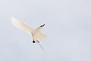 Red-tailed Tropic bird hovering