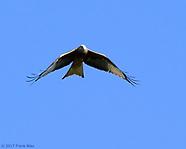 Austrian Hawk