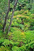 Tree fern and ohia tree native rainforest at Thurston Lava Tube, Hawaii Volcanoes National Park, Island of Hawaii.