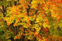 Colorful sugar maple trees in autumn, Acadia National Park, Maine, USA