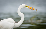An egret holds in its beak a small shrimp caught in the May River near Bluffton, SC.