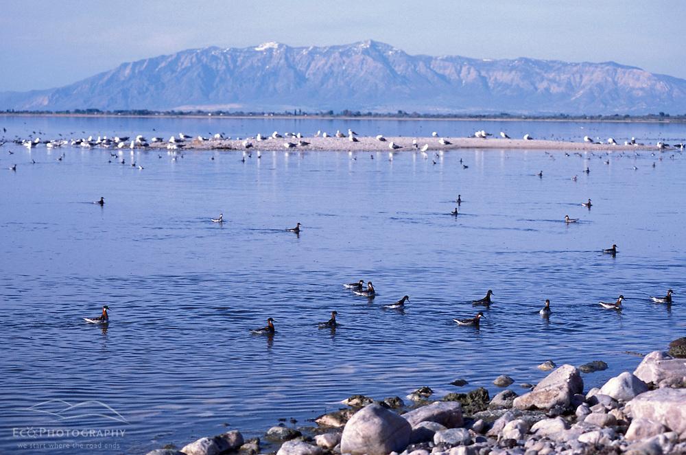 Syracuse, UT. Phalaropes and gulls on Utah's Great Salt Lake as seen from the Antelope Island Causeway.