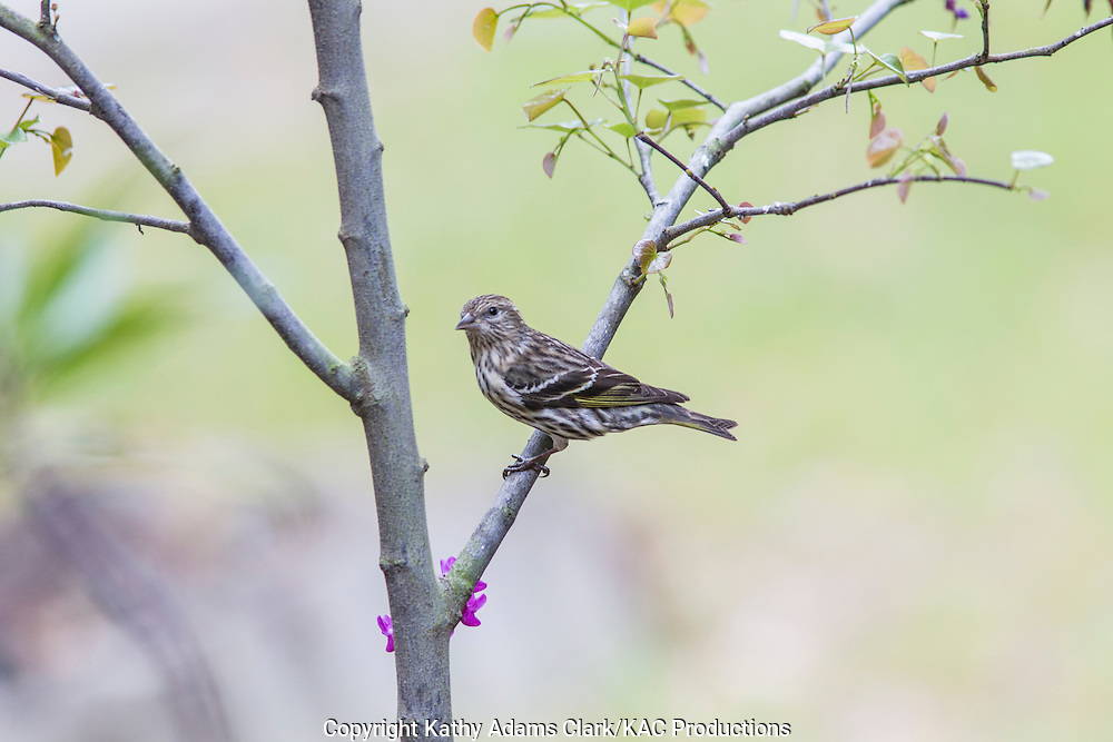 Pine Siskin perching in tree, The Woodlands, Texas, spring.