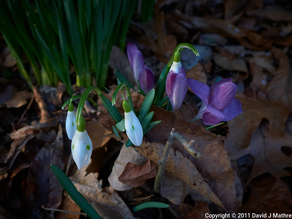 Late winter snow drop and purple crocus flowers. Spring must be coming. Image taken with a Leica D-Lux 5 camera (ISO 100, 19 mm, f/3.3, 1/100 sec).