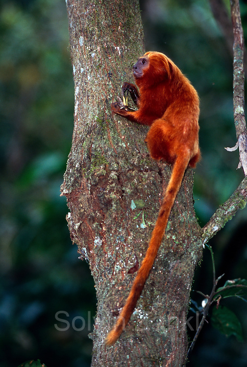 Besides fruits, flowers and nectar Golden Lion Tamarins feed on a variety of insects and small amphibians. | Neben pflanzlicher Nahrung nehmen Löwenäffchen auch eine Vielzahl an Insekten und kleineren Amphibien zu sich.
