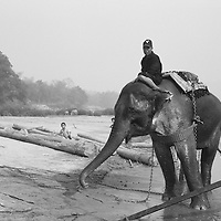 Asia, Laos, Ban Pak Ou, Black and white image of trainer riding atop Asian Elephant  (Elephas maximus) during logging operations along banks of Mekong River