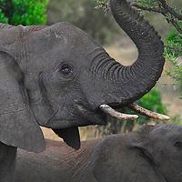African elephant ( Loxodonta africana ) Masai Mara National Park. Kenya. Africa