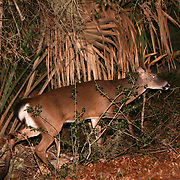 A white tail buck walking out of a Jekyll Island palmetto swamp.