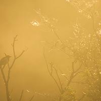 Magpie in mist, Katmai National Park, Alaska