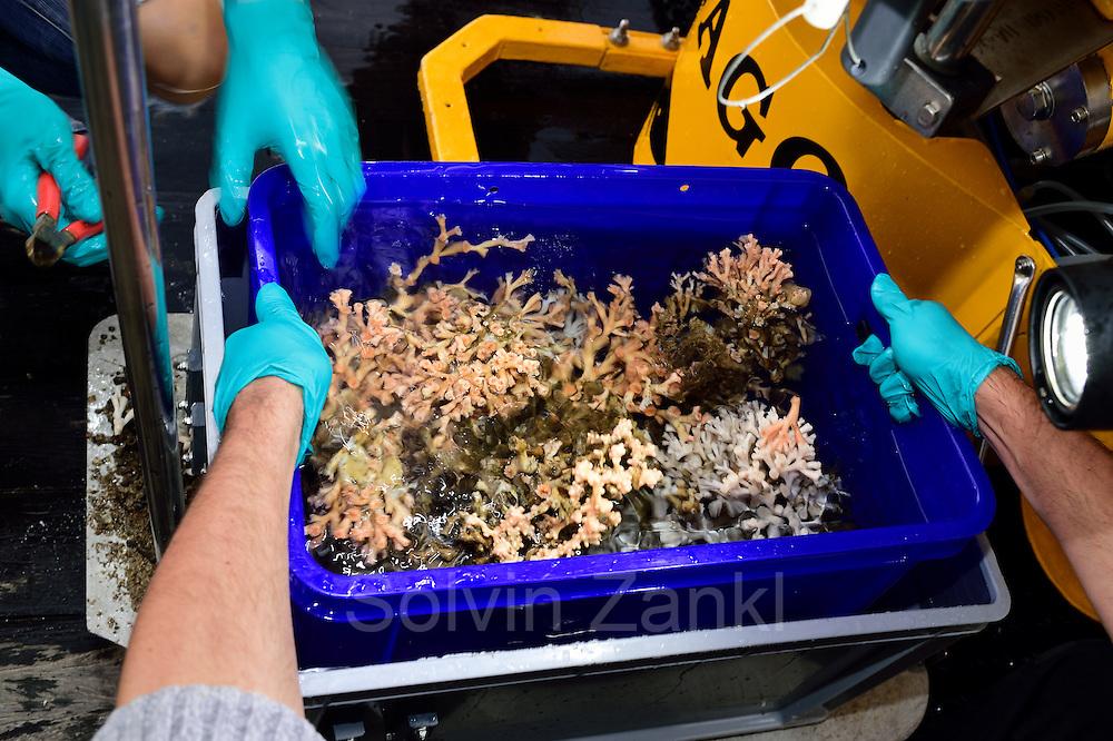 Gesammelte Proben im Korb des Tauchbootes JAGO. Es sind Korallenstücke der Kaltwasserkoralle Lophelia (Lophelia pertusa). Sie werden im Labor an Bord des Forschungsschiffes Poseidon untersucht. Trondheimfjord, Norwegen