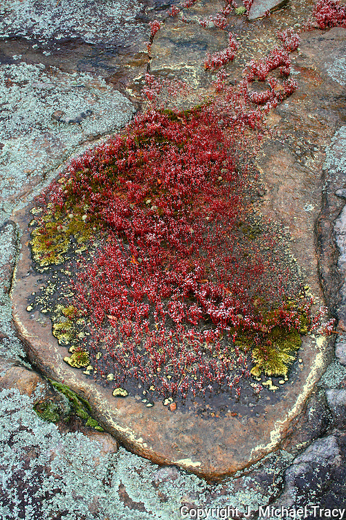 Bright colored lichens, algea and moss in springtime puddles on the Stone Mountain Georgia ridge.