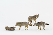 Although closely related, coyotes are not quite as social as their wolf cousins. Coyotes most often associate in mated pairs, but they may live in a loose pack structure in areas where there is plentiful prey.