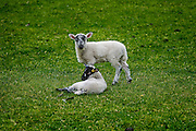 Color photograph of two young lambs posing in their pasture. For sale as Fine Art Print or Canvas Gallery Wrap