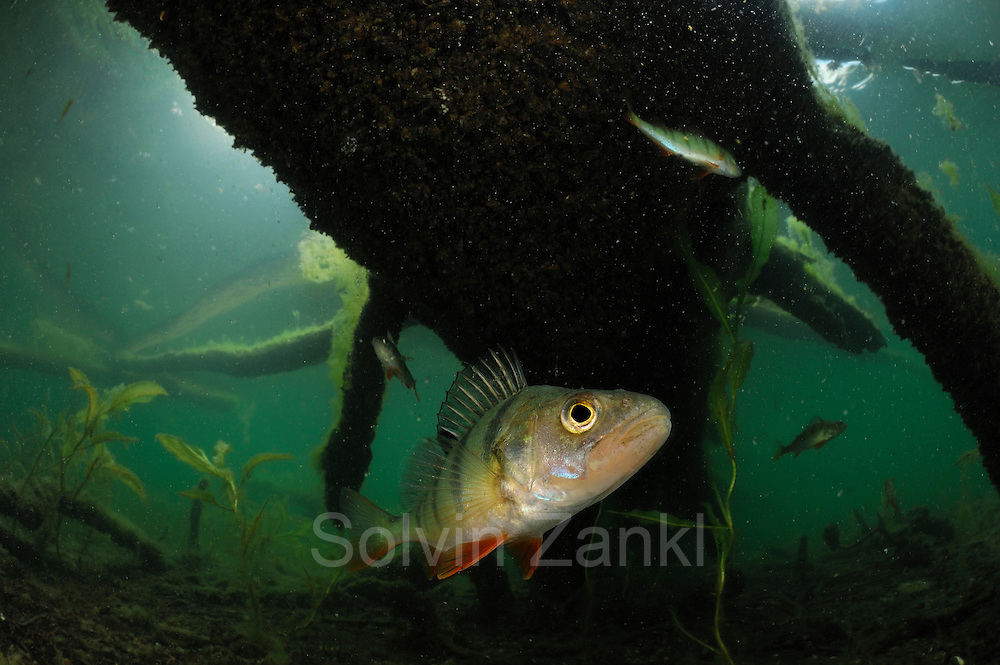 Perch (Perca fluviatilis) lake Stechlin, Germany |