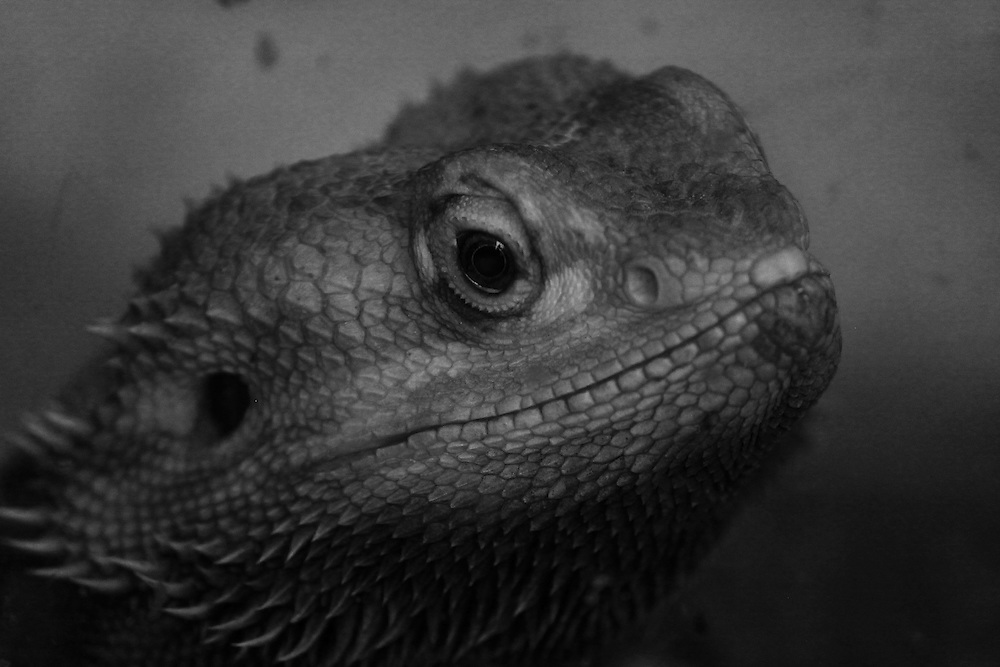 A black and white portrait of a (captive) Bearded Dragon