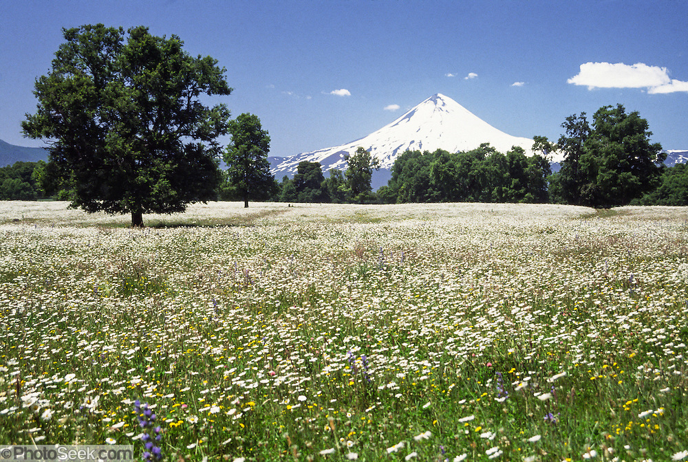 """In early January in the Andes mountain range, the snows of Llaima volcano rise above a field of white flowers near Temuco, in the Araucanía Region, Chile, South America. Volcan Llaima (3125 meters or 10,253 feet elevation) is one of the largest and most active volcanoes in Chile. The ski center Las Araucarias lies on the volcano's western slopes. What international tourist literature calls the """"Chilean Lake District"""" usually refers to the Andean foothills between Temuco and Puerto Montt including three Regions (XIV Los Ríos, IX La Araucanía, and X Los Lagos) in what Chile calls the Zona Sur (Southern Zone)."""