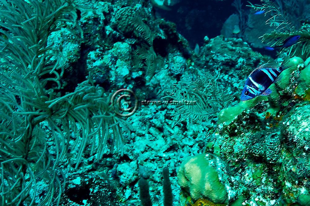 Indigo Hamlet, Hypoplectrus indigo, Grand Cayman