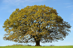 Double oak trunk tree (Quercus robur) in Nauroth, Germany |