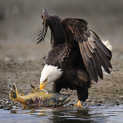 A bald eagle (Haliaeetus leucocephalus) drags a chum salmon (Oncorhynchus keta) onto the gravel bar of the Chilkat River in the Alaska Chilkat Bald Eagle Preserve near Haines, Alaska. During late fall, bald eagles congregate along the Chilkat River to feed on salmon. This gathering of bald eagles in the Alaska Chilkat Bald Eagle Preserve is believed to be one of the largest gatherings of bald eagles in the world. EDITORS NOTE: Image is a cropped version of Image ID I0000C8fO92kKcJE.