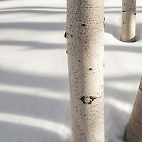 Winter aspen trees and their shadows outside of Park City, Utah.