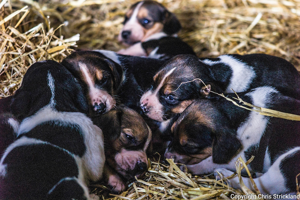 Abbotrule, Bonchester Bridge, Hawick, Scotland, UK. 9th July 2015. Foxhound pups of the Jedforest Hunt from bitch 'Hassle' rest on a straw bed on a summers day in the Scottish Borders.