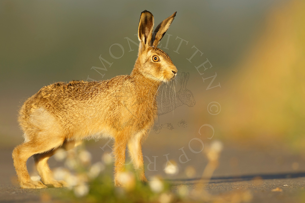 European Hare (Lepus europaeus) adult on tarmac road, South Norfolk, UK. August.