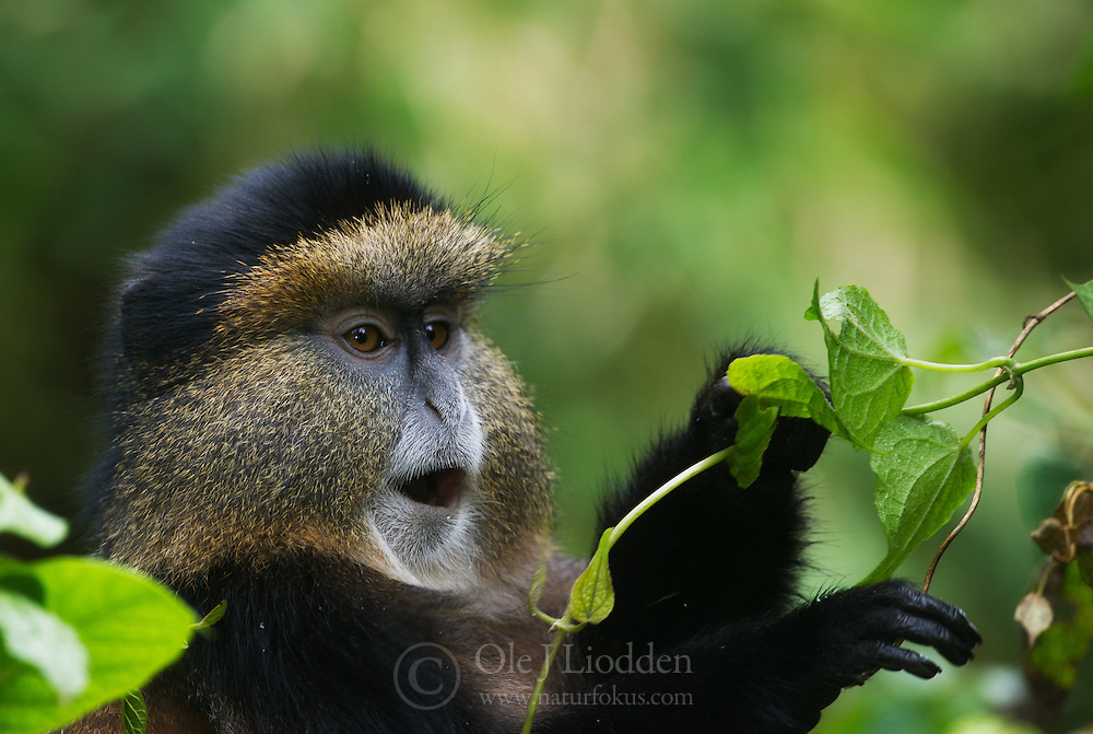 golden monkey (Cercopithecus kandti) in Virunga, Rwanda